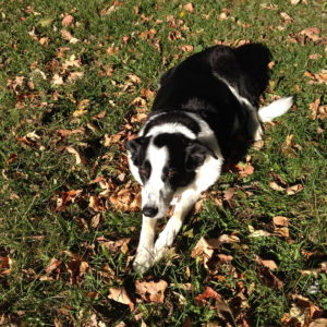 Riley, the awesome Border Collie