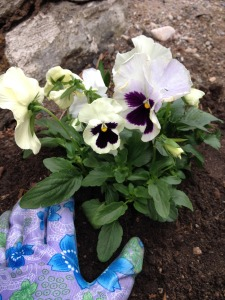 The new pansies!